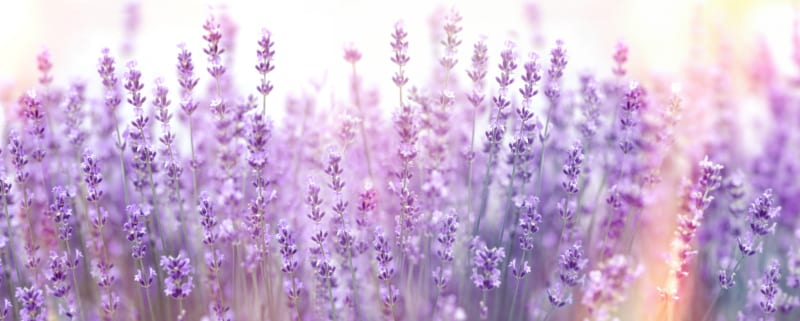 Lavender Vitality essential oil from Young Living Essential Oils